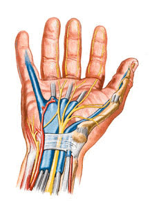 The median nerve, radial artery, flexor tendons and blood vessels are contained within the confined space of the carpal tunnel.